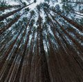 Looking up in pine forest tree tops with crowns to canopy. Bottom View Wide Angle Background