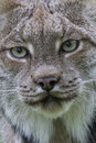 Look deep into my eyes face portrait of a canadian lynx Royalty Free Stock Photo