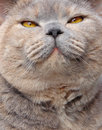 The look of love photo a beautiful smile from a pedigree british shorthair cat Stock Photos
