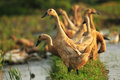 Look at me the duck flock every afternoon especially after the harvest is completed this duck is released in paddy field ini mean Royalty Free Stock Image