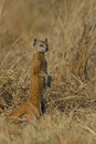 On the look out mongoose sentry Royalty Free Stock Photography