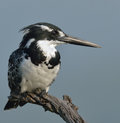 Look out pied kingfisher on branch in pilanesberg nature reserve Royalty Free Stock Photo