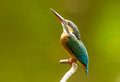 Look at the sky common kingfisher Stock Images