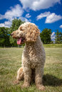 Look to the side a labradoodle sits obediently against a beautiful background and looking however his tongue hanging out Royalty Free Stock Photos