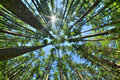 Look up in a dense pine forest Royalty Free Stock Photo