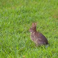 Looking away cottontail rabbit that is to escape on the grass Royalty Free Stock Photography