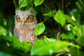 Looking Baby Screech Owl Royalty Free Stock Photo