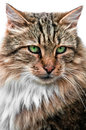 Looking cat portrait front view Stock Photos