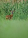 Looking deer this i can photograph in the grassland in the early morning Royalty Free Stock Photography