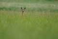 Looking deer this i can photograph in the grassland in the early morning Stock Image