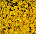 Looking down large group golden yellow mums Stock Photos