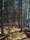 Looking down rows of pines on a tree farm in the autumn sun Royalty Free Stock Images