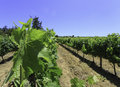 Looking through the grapevines Royalty Free Stock Photo
