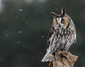 Looking long eared owl a asio otus sitting on a perch with snow falling in the background Royalty Free Stock Images