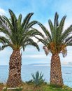 Large, thick palm trees on the beach. The island of Crete, Greece. Royalty Free Stock Photo