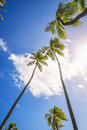 Looking straight up palm trees blowing wind honolulu Stock Image