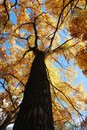 Looking Straight Up A Tall Tree with Yellow Leaves Royalty Free Stock Photo