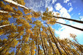 Looking up through Aspen trees in fall Stock Image