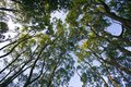 Looking up in a beech tree forest,low angle Royalty Free Stock Photo