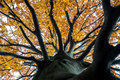 Looking up into the canopy of an autumn tree Royalty Free Stock Photo
