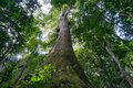 Looking up at giant tropical tree in rainforest Royalty Free Stock Photo