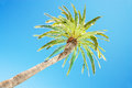 Looking up at leaning palm tree against blue sky, view from below, tropical travel concept Royalty Free Stock Photo