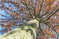 Looking up at the might oak tree befire sunset Royalty Free Stock Photo