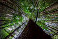 Looking up at the mighty fir Royalty Free Stock Photo