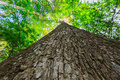 Looking up a mighty tree with detail of bark and timber Royalty Free Stock Images
