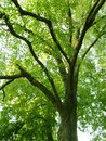 Looking Up at Old Tree Branches and Green Leaves. Royalty Free Stock Photo