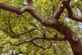 Looking up into an old tree with twisted branches Royalty Free Stock Photo
