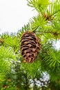 A Pine Cone Royalty Free Stock Photo