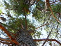 Looking up through pine trees a perspective from the ground Royalty Free Stock Photo