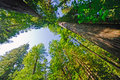 Looking up in a Redwood Forest Stock Photography