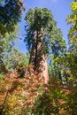 Looking up a Sequoia tree, fall colored Pacific mountain dogwood in the foreground Royalty Free Stock Photo
