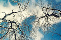 Looking Up at Snow Covered Tree Branches Royalty Free Stock Photo