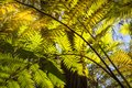 Looking up to a beautiful sunglowing fern in a tropical forest Royalty Free Stock Photo