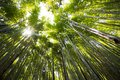 stock image of  Looking up to the sky in a bamboo forest