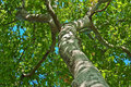 Looking Up A Tree Royalty Free Stock Photo