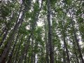 Looking up at trees in nature forest Royalty Free Stock Photo