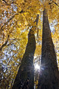Title: Looking up between two tall majestic trees with bright yellow leaves