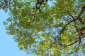 Looking up from under the tree with branch and green leaf Royalty Free Stock Photo