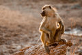 Lookout baboon a acts as the for the group as he sits on a wooden stump during the late afternoon with the low sun creating a glow Royalty Free Stock Photo