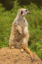 Lookout meerkat on the for predators Royalty Free Stock Photos