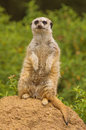 Lookout meerkat on the for predators Royalty Free Stock Images