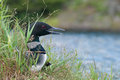 Loon calls while nesting on island Royalty Free Stock Photo