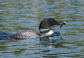 Loon fishing on the lake surfaces after catching a fish and holds it in her beak while gliding across Stock Image
