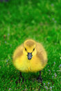 Loonie Baby on grass Royalty Free Stock Image