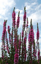 Loosestrife flowers with blue sky Royalty Free Stock Photo