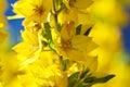 Loosestrife (Lysimachia punctata) Stock Images